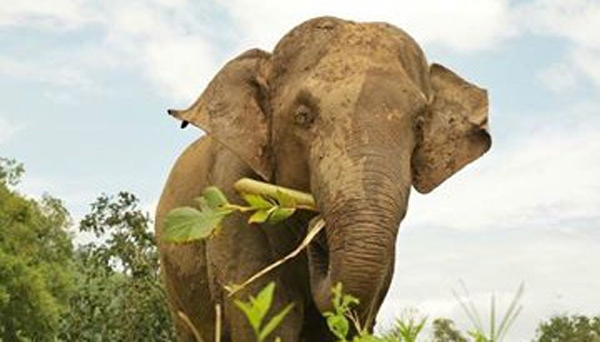 Elephant Of The Week : Hope, The Handsome Young Bull At ENP