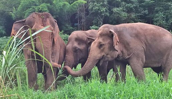 The Three Lady Elephants Are Socializing While They Are Relaxing In The Field At Pamper A Pachyderm Program By ENP