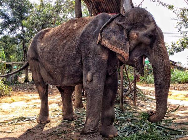 Female &#9792; Asian elephant (<i>Elephas maximus</i>) Yai Bua at Elephant Nature Park (Sangduen Chailert)