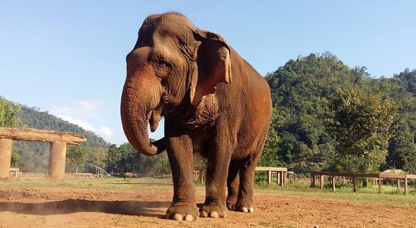 Mae Srinuan is the biggest female elephant at ENP