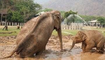 In 2015, Dao Tong and Navann play at the mud pit together after she laid down in her shelter for long time because of the accident