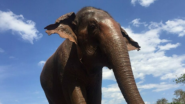 Elephant Of The Week: Kham Pang