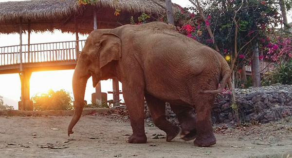 Elephant Of The Week : Medo