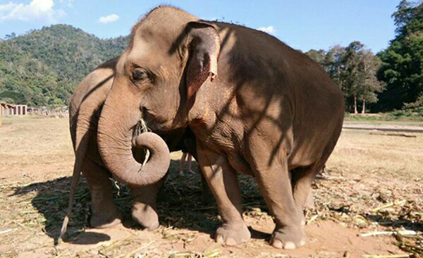 Elephant Of The Week : Mintra