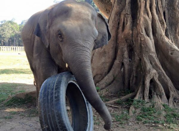 Yindee is playing with his tyre under the fig tree