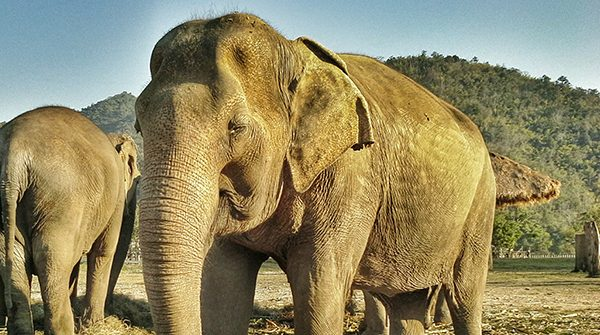Bua Kham is one of the most healthy elephant at the park