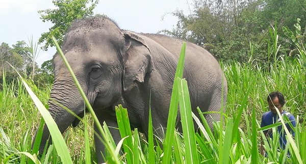 The beautiful elephant following by her mahout