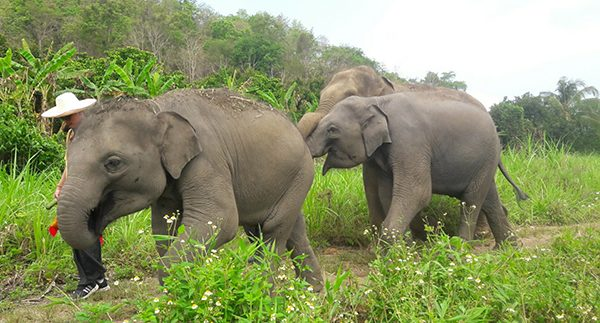 ENP guide and elephants are walking side by side