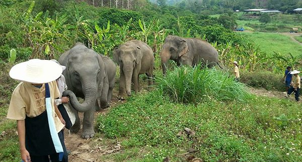 Elephants, their mahout and ENP staff enjoy walking together