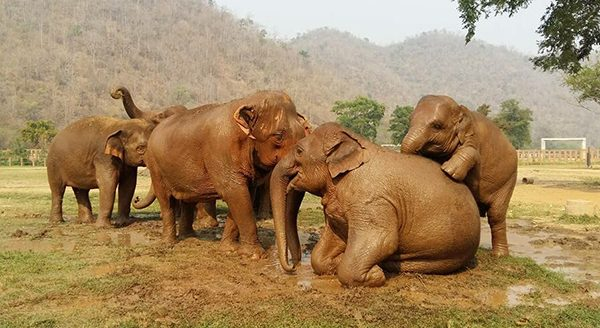 Happy herd having so much fun with mud bath at Elephant Nature Park