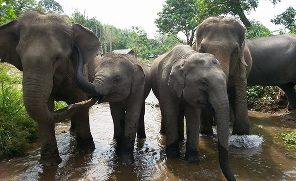 Elephant Trails Footage Filmed By Elephant Nature Park