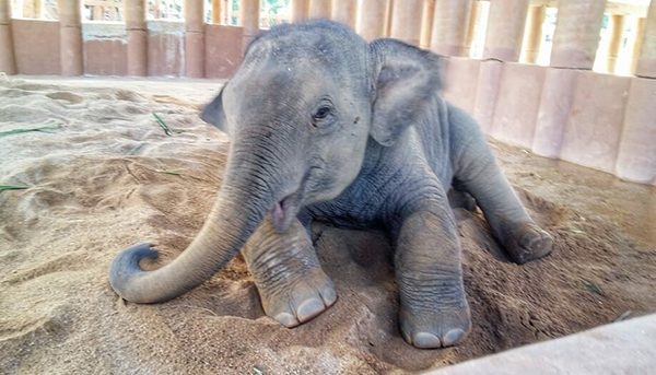 Dok Geaw stay in his shelter on the first day at Elephant Nature Park