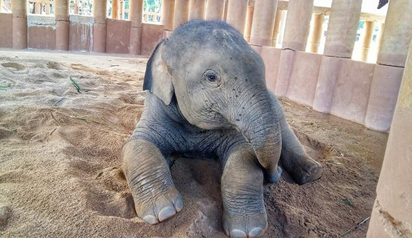 Dok Geaw lie down on his soft sand pile we provide for him at Elephant Nature Park