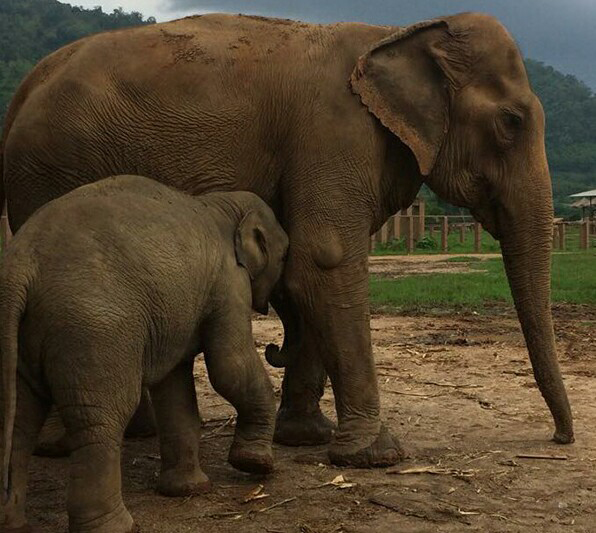 Orphaned Baby Elephant Dok Geaw And Yai Bua, The Old Female Elephant Who Lost Her 5 Babies