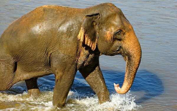 Tilly Walking Beautifully In The River At Elephant Nature Park