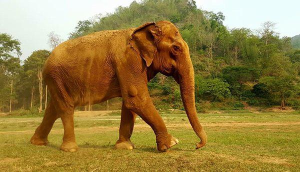 Yai Bua is our oldest female elephant