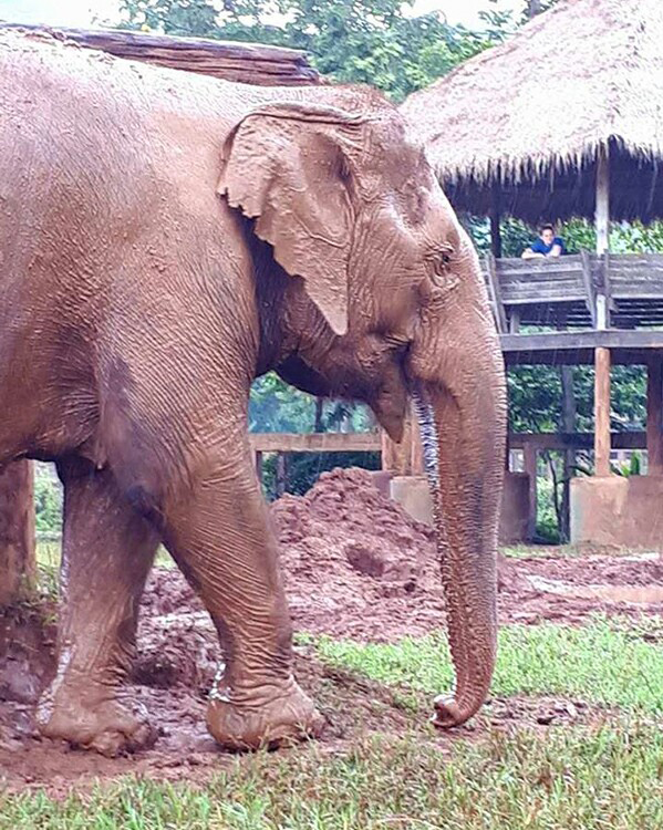 Elephant Of The Week : Sook Jai
