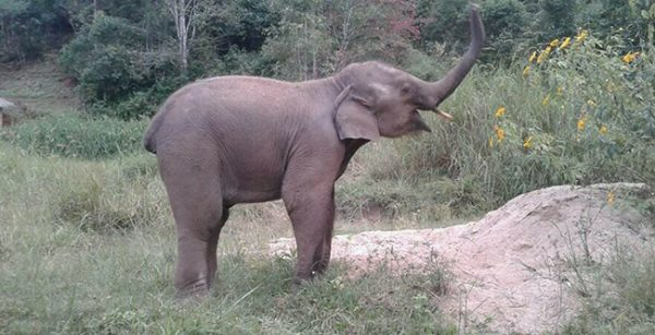 Male ♂ Asian elephant Zuki at Journey to Freedom project (Sangduen Chailert)