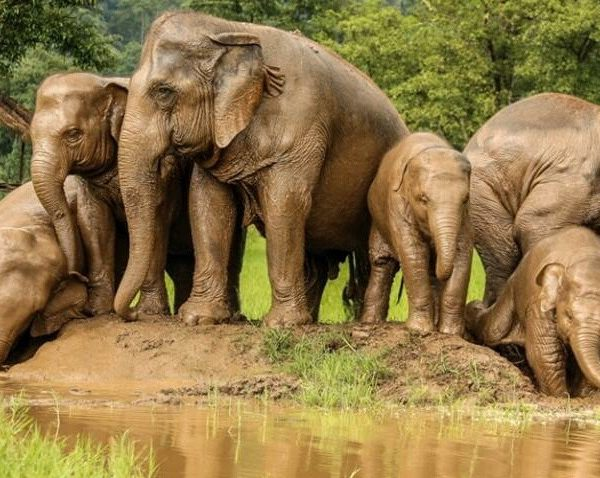 Elephants Are Well-known For Their Intelligence, Close Family Ties And Social Complexity.
