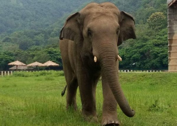 Chang Yim is a healthy and happy elephant.