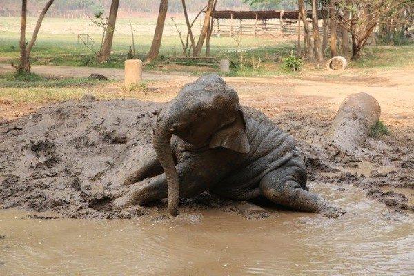 Chaing Yim enjoyed mud bathe.