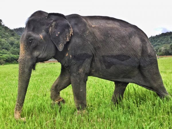 First time Bai Cha walked freely at Elephant Nature Park after her arrival.