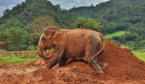 Bai Cha enjoyed soft mud bath.